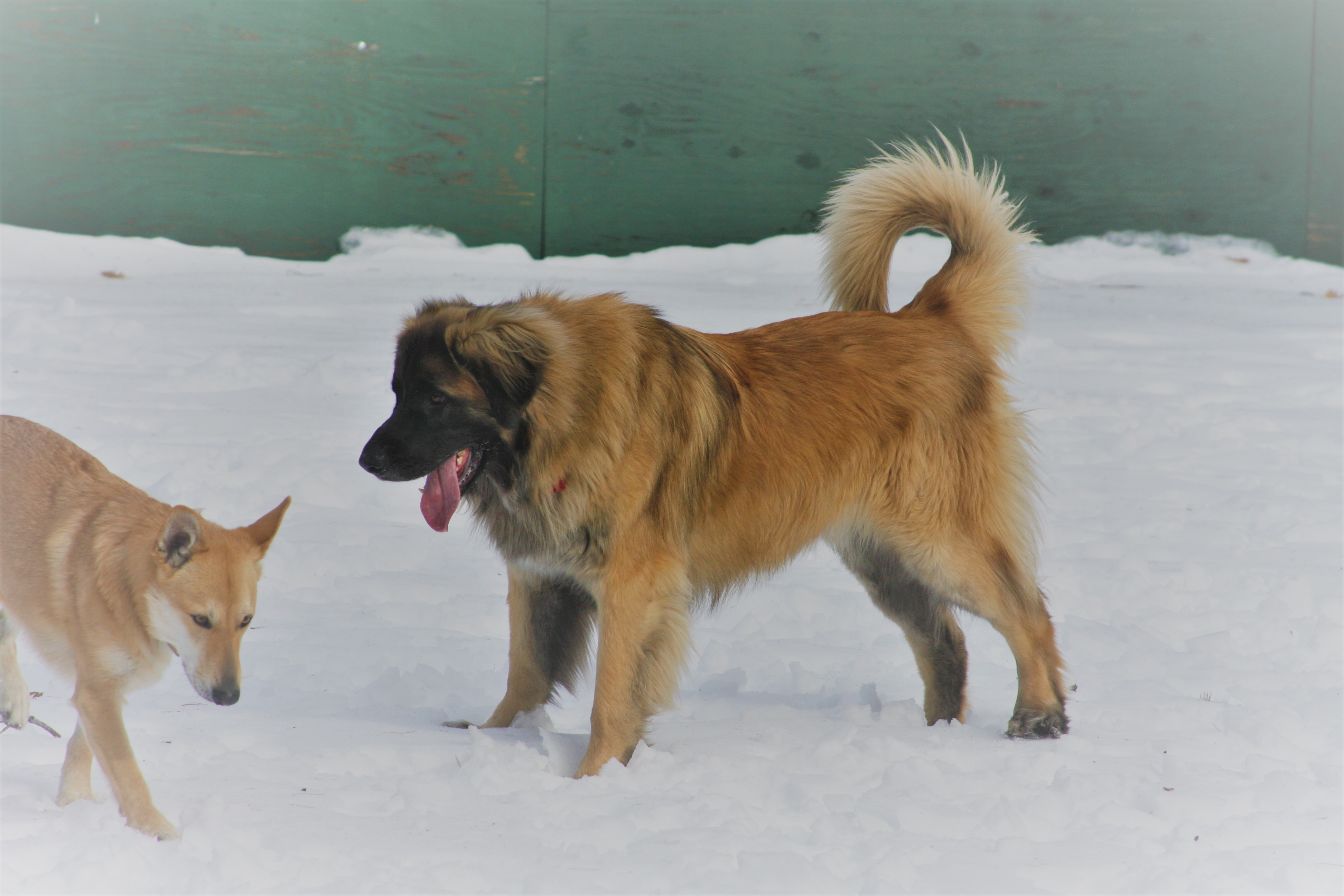 Digger a male Leonberger